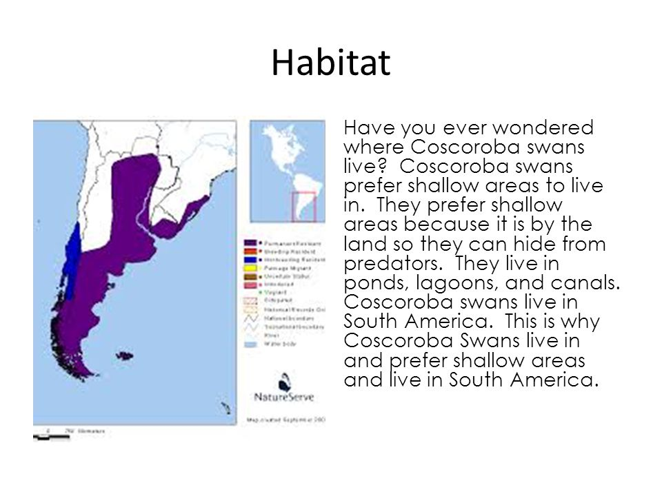 Habitat Have you ever wondered where Coscoroba swans live? Coscoroba swans prefer shallow areas to live in. They prefer shallow areas because it is by