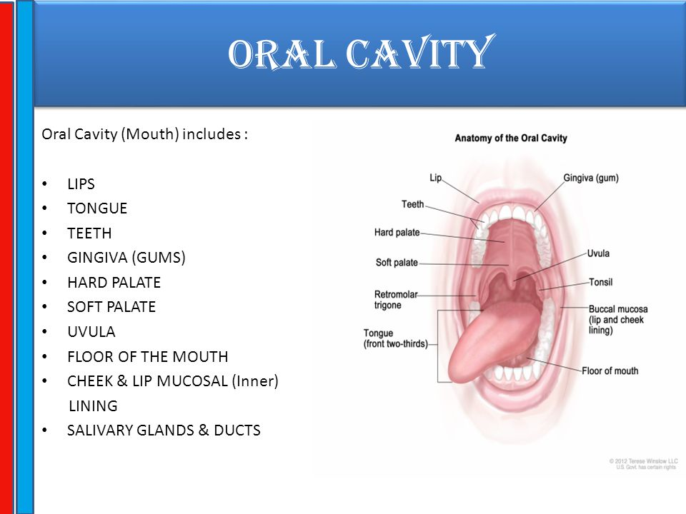 ORAL CAVITY Oral Cavity (Mouth) includes : LIPS TONGUE TEETH GINGIVA (GUMS) HARD PALATE SOFT PALATE UVULA FLOOR OF THE MOUTH CHEEK & LIP MUCOSAL (Inne
