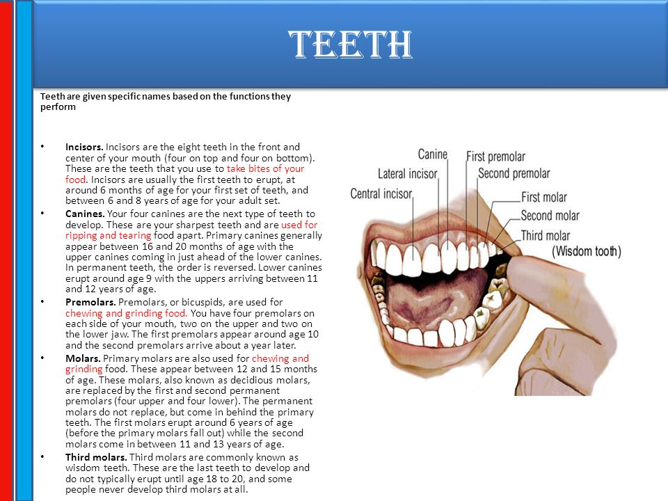 TEETH Teeth are given specific names based on the functions they perform Incisors. Incisors are the eight teeth in the front and center of your mouth