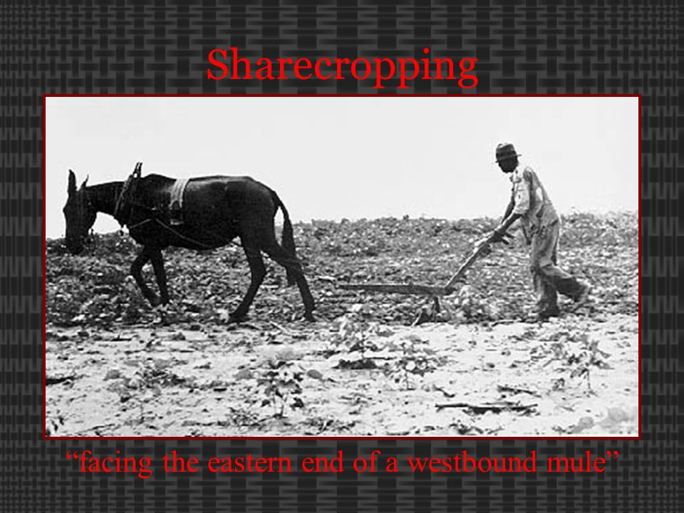 Sharecropping facing the eastern end of a westbound mule