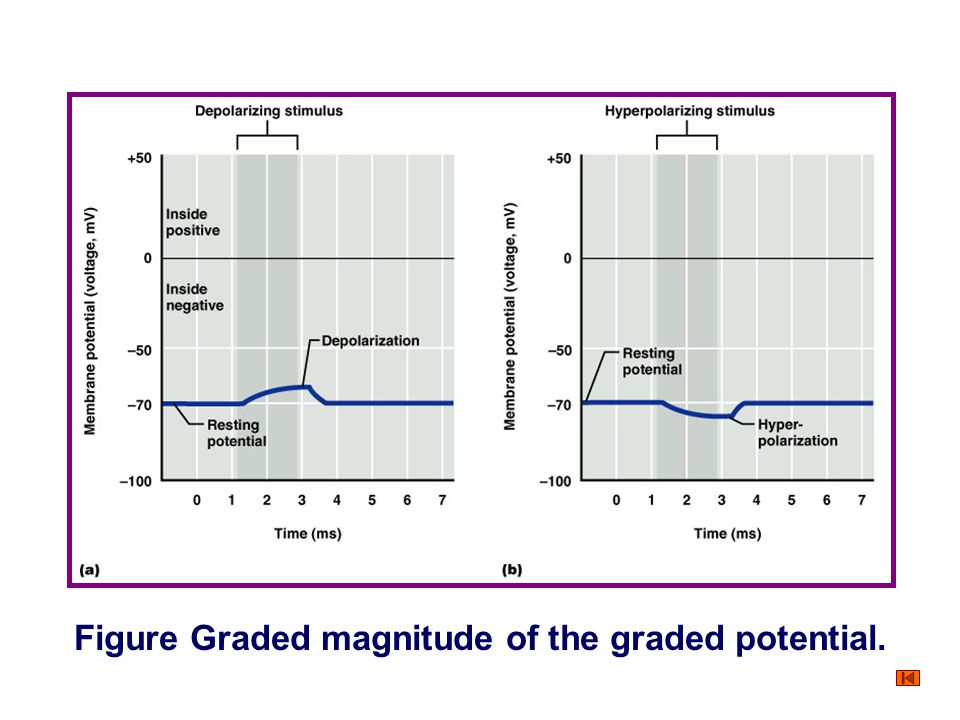 Figure Summation of the graded potential.