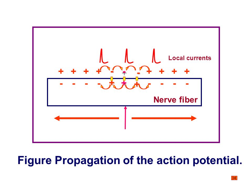 Action Potential and its Origin Propagation of the action potential Mechanism The potential difference between the depolarized areas of the membrane a