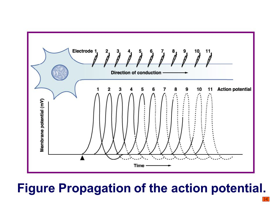 +-+- +-+- +-+- +-+- +-+- +-+- +-+- +-+- +-+- +-+- +-+- -+-+ -+ -+ Nerve fiber Local currents Figure Propagation of the action potential.