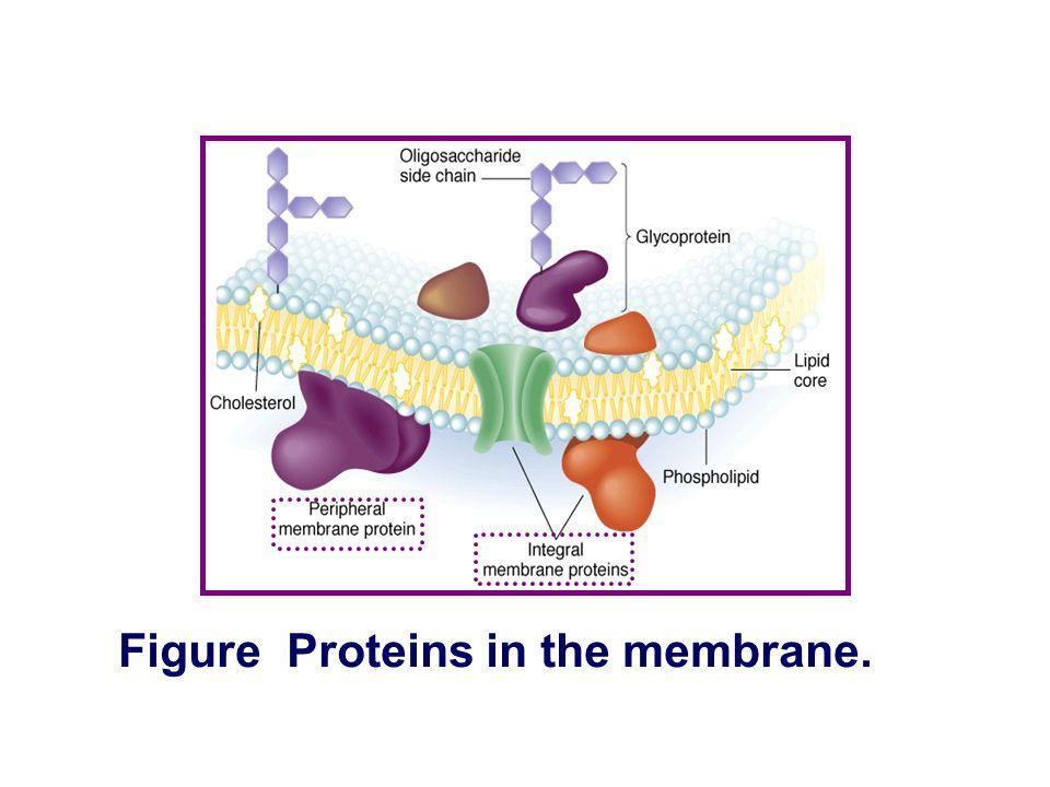 Figure Cholesterol in the membrane.