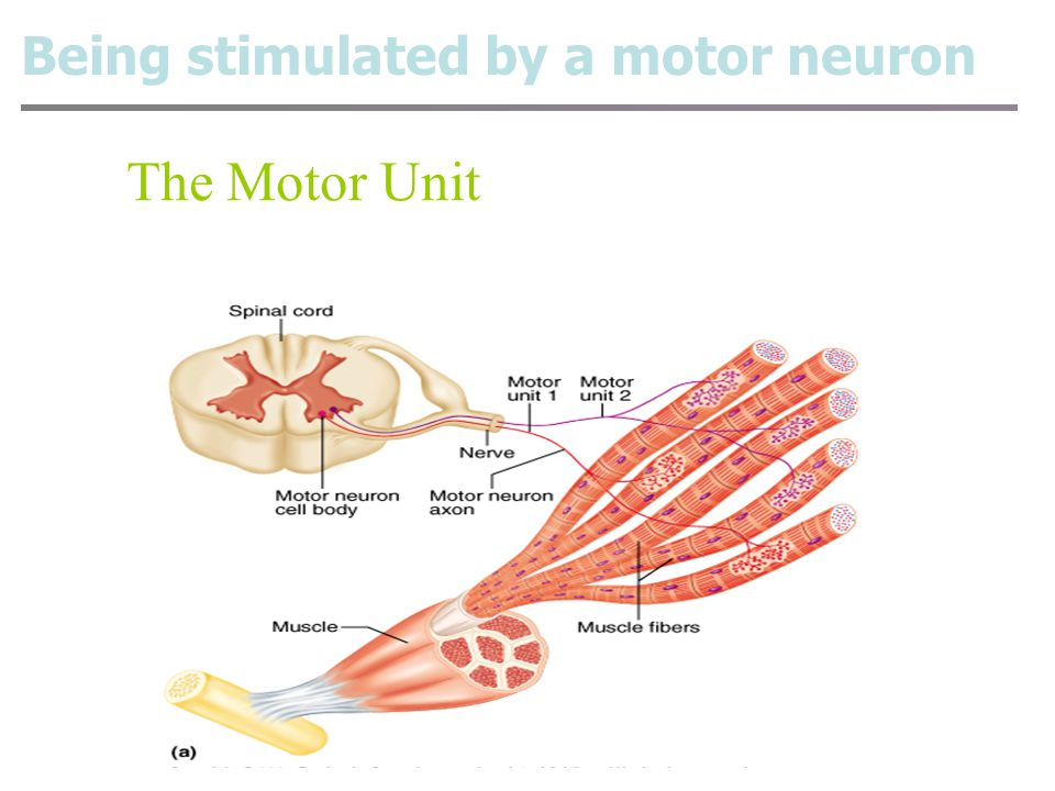 1.Being stimulated by a motor neuron 2.Transmission of excitation at neuromuscular junction 3.Excitation–contraction coupling 4.Myofilament sliding Ho