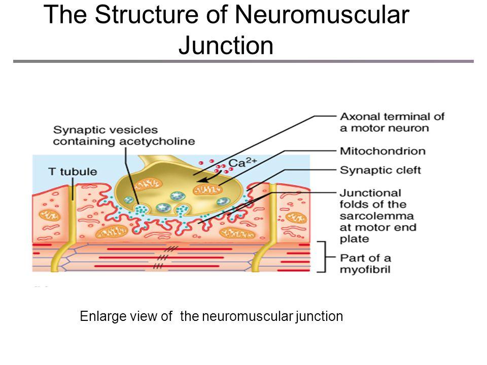 The Neuromuscular Junction