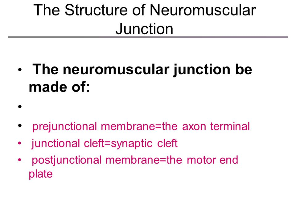 Enlarge view of the neuromuscular junction The Structure of Neuromuscular Junction