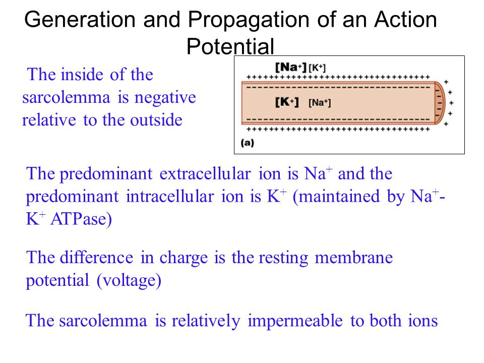 Generation and Propagation of an Action Potential The sarcolemma, like other plasma membranes is polarized. There is a potential difference (voltage)