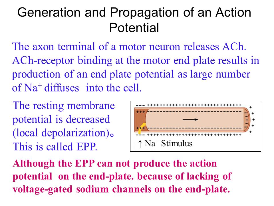 Generation and Propagation of an Action Potential The inside of the sarcolemma is negative relative to the outside The predominant extracellular ion i