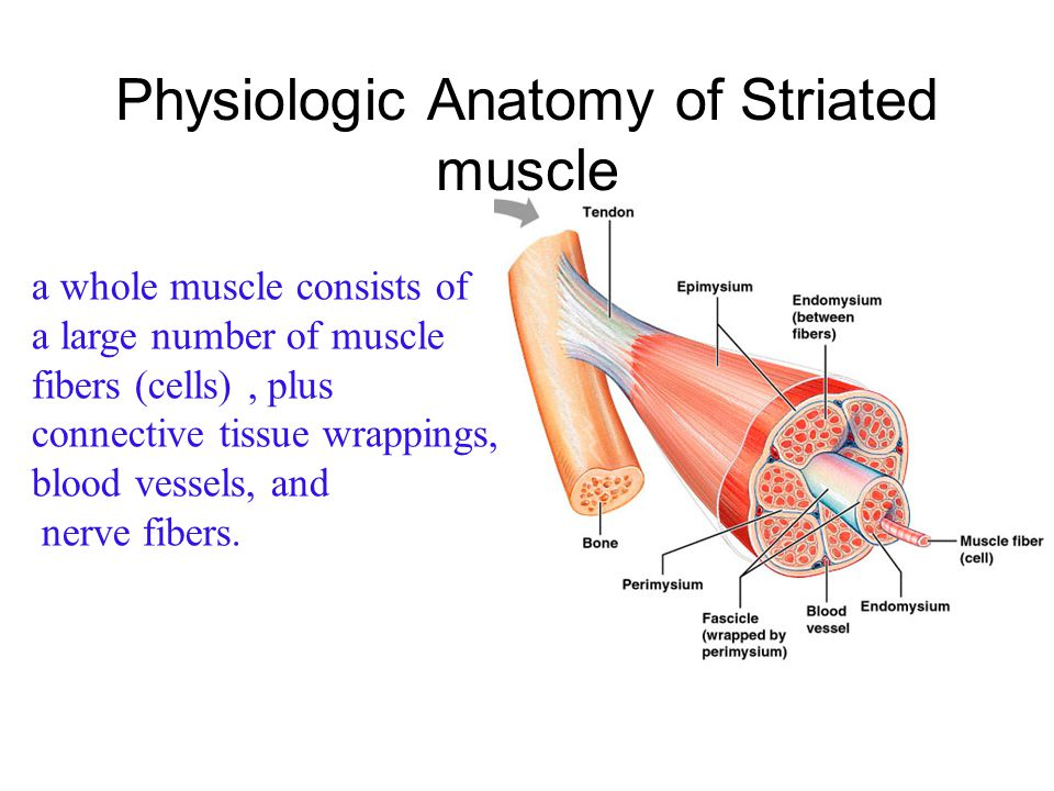 Muscles structure provides a key to understand the mechanism of striated muscle contraction!