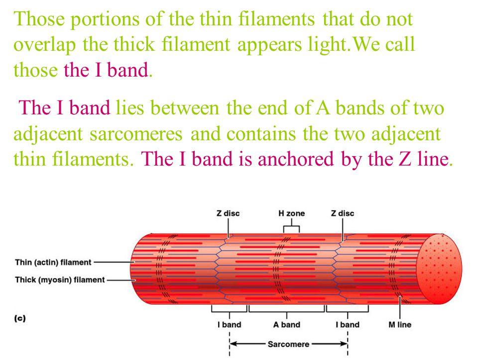 Thin filamentThick filament H zone M line sarcomere
