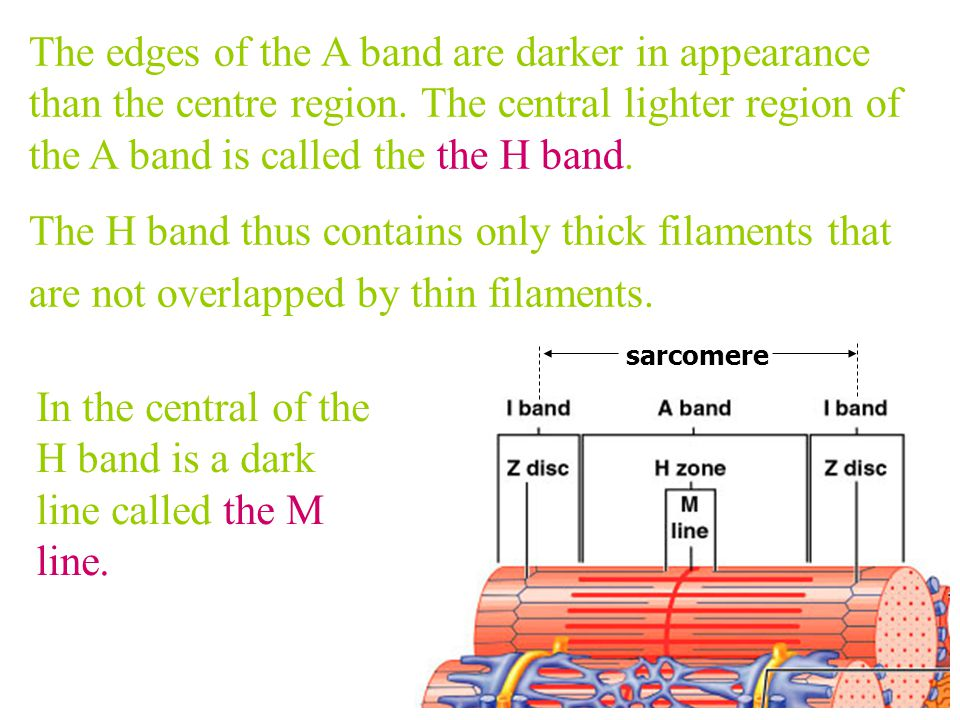 Those portions of the thin filaments that do not overlap the thick filament appears light.We call those the I band. The I band lies between the end of