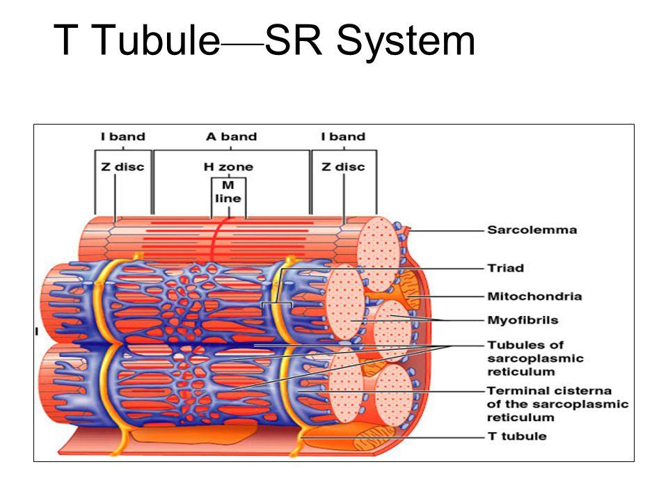 T Tubule — SR System