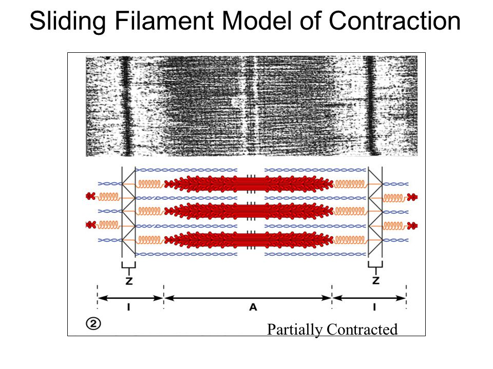 Sliding Filament Model of Contraction Relaxed State