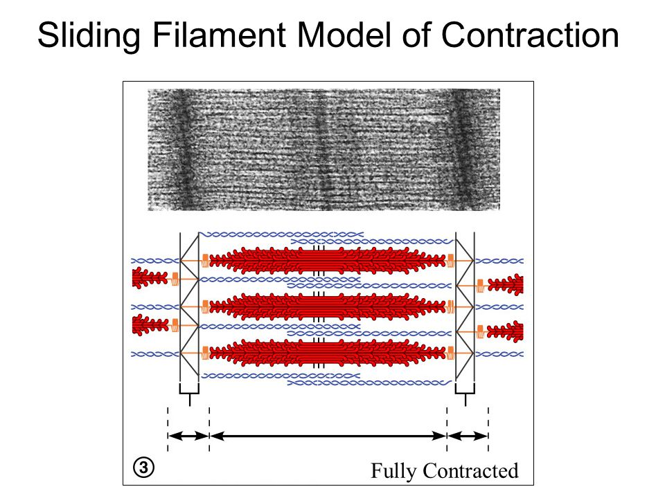 Sliding Filament Model of Contraction Partially Contracted