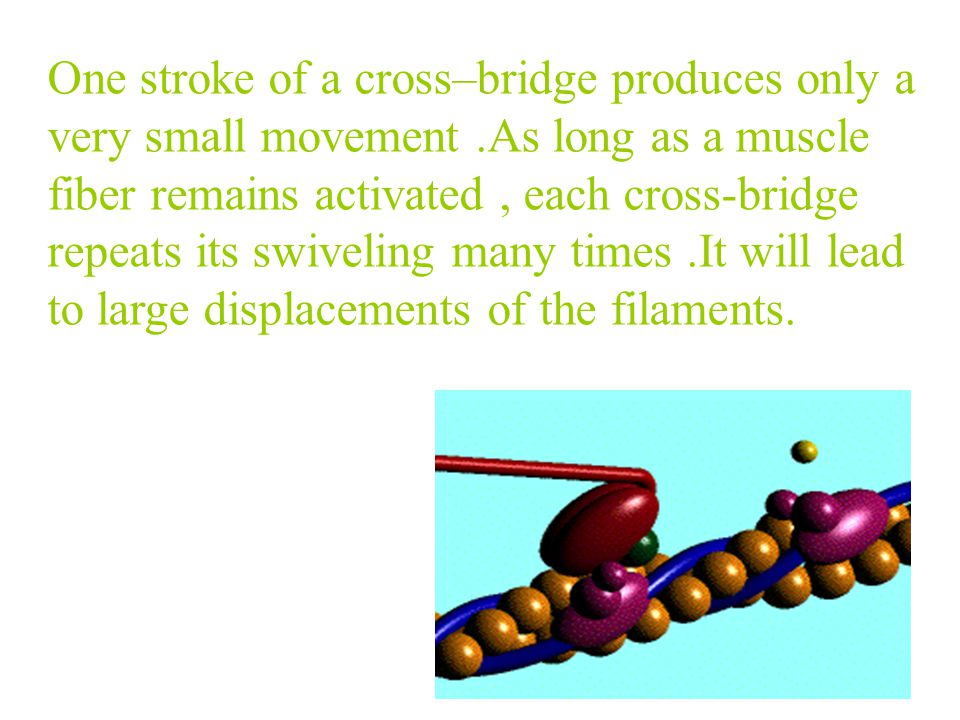 Myofilament Sliding theory During shortening,the sarcomere is shortened, but there is no change in the length of either the thick or thin filaments.Du