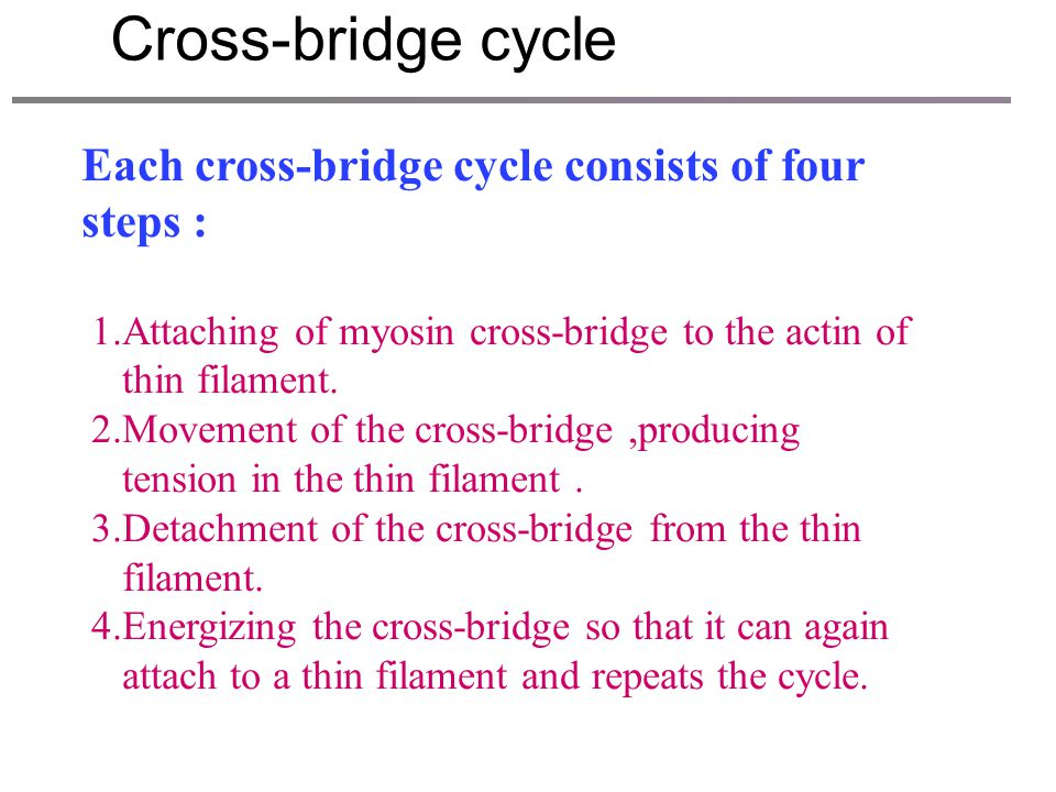 When the filaments slide, the cross-bridge will undergo four different states. We call it cross-bridge cycle. It is the integral process that the acti