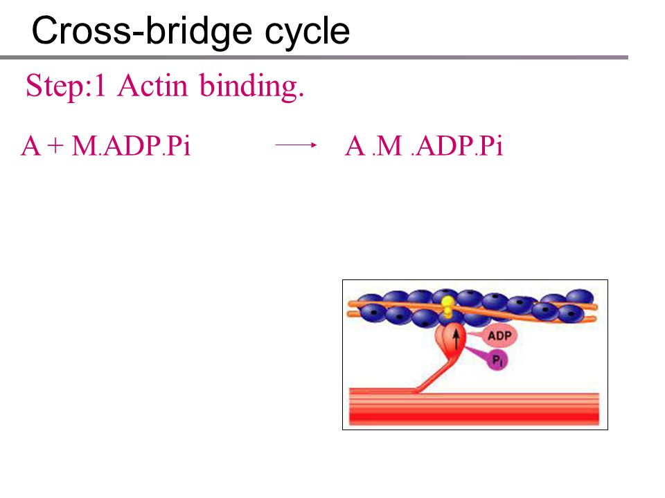Cross-bridge cycle Each cross-bridge cycle consists of four steps : 1.Attaching of myosin cross-bridge to the actin of thin filament. 2.Movement of th