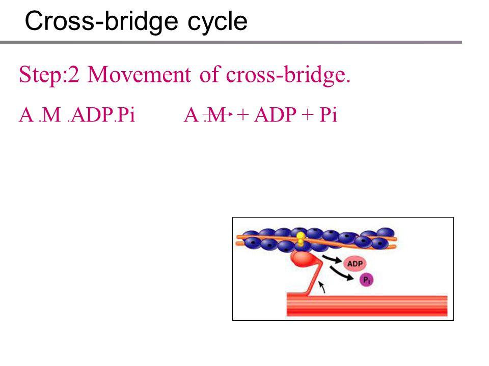 Cross-bridge cycle Step:1 Actin binding. A + M ﹒ ADP ﹒ PiA ﹒ M ﹒ ADP ﹒ Pi