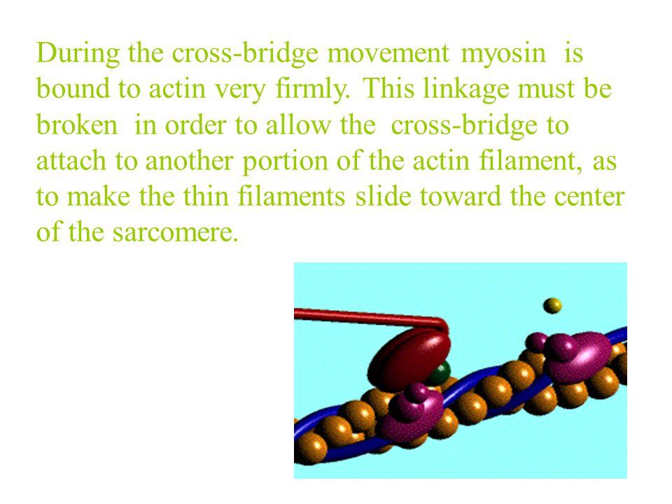 Cross-bridge cycle Step:2 Movement of cross-bridge. A ﹒ M ﹒ ADP ﹒ Pi A ﹒ M + ADP + Pi