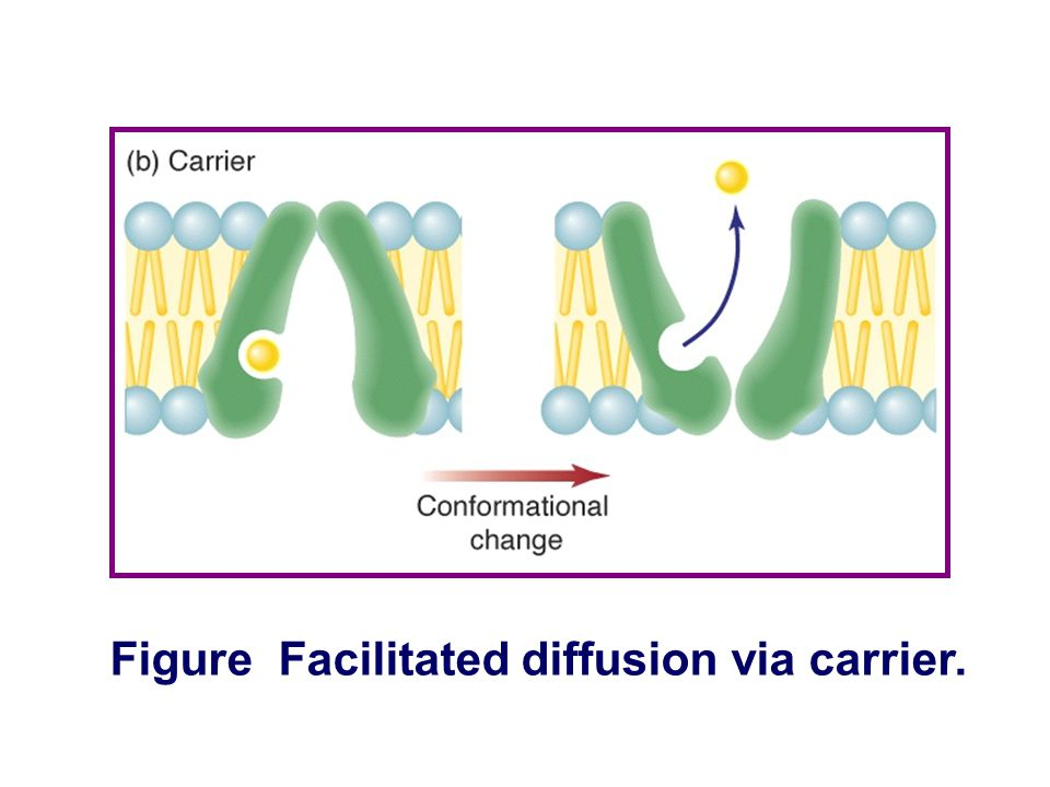 Transport of Substance Through the Cell Membrane Protein-mediated transport Facilitated diffusion via carrier Characteristics: ① Glucose and amino aci