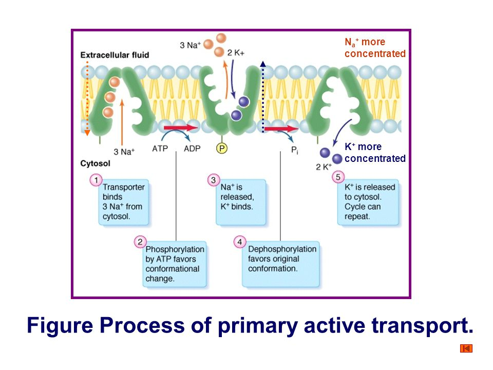 Transport of Substance Through the Cell Membrane Protein-mediated transport Primary active transport Sodium-potassium pump ① Three sodium ions out of