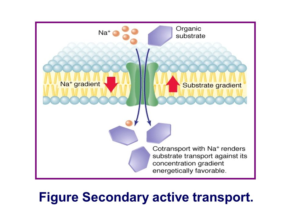 Transport of Substance Through the Cell Membrane Protein-mediated transport Secondary active transport ① ATP is not used directly. ② Depends on primar