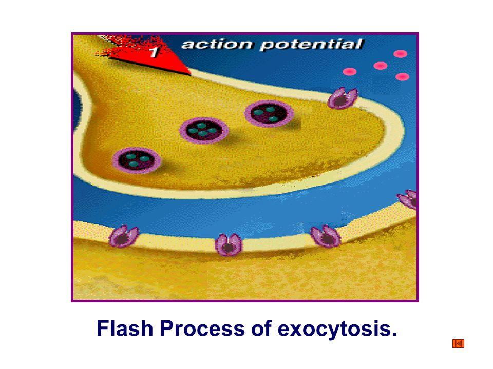Figure Process of exocytosis. ① Endoplasmic reticulum Golgi apparatus ② ③ Vesicle Plasma membrane Exterior Interior