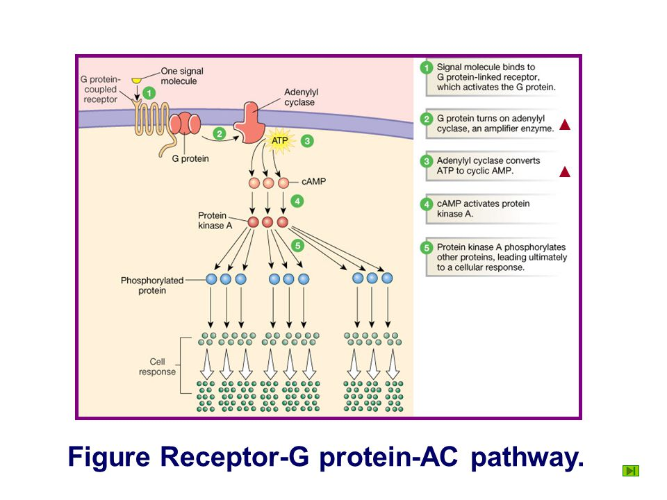Signal Transduction Mediated by G-protein Linked Receptor Two import pathways of signal transduction mediated by G-protein- linked receptor. ① Recepto