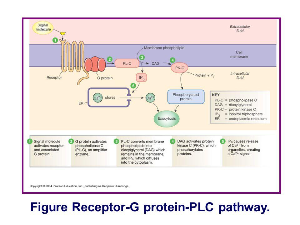 Figure Receptor-G protein-AC pathway.