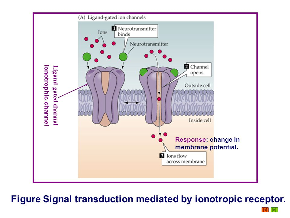 Signal Transduction Mediated by Ionotropic Receptor Ionotropic receptor The protein that acts as the receptor itself constitutes an ion channel. Proce