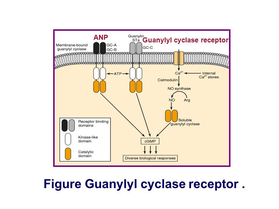 Figure Tyrosine kinase receptor. Receptor portion Enzyme portion Enzyme-linked receptor