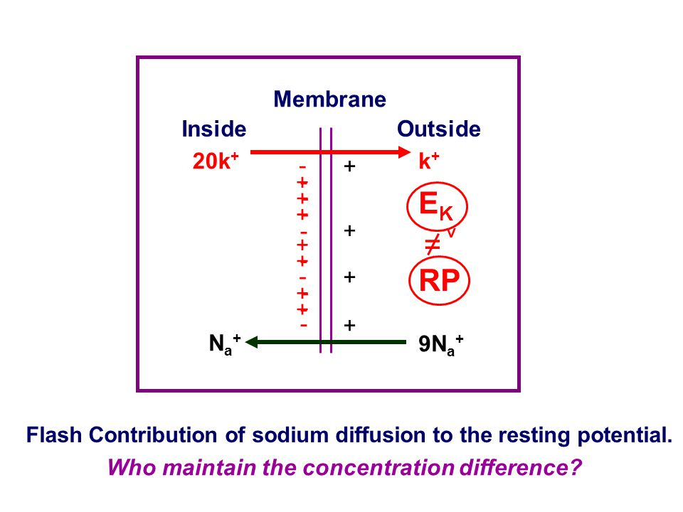 Resting Potential and its Origin Origin of the resting potential Chord conductance equation The greater the membrane permeability to an ion species, t