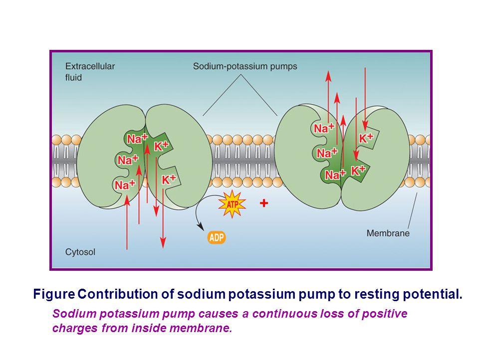 Membrane InsideOutside 20k + k+k+ + + + + + + + 9N a + Na+Na+ + + + + - - - - - - - - - - - EKEK RP = ﹥ Flash Contribution of sodium diffusion to the