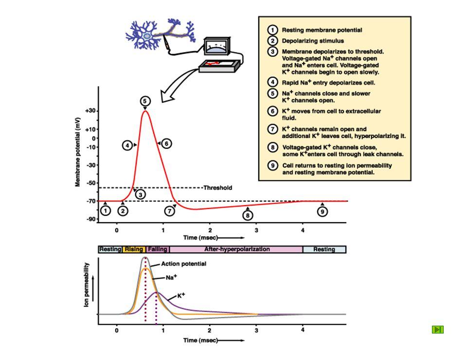 Membrane OutsideInside Resting potential -70 0 30 20K + K+K+ ++++++ ++++++ ------ ------
