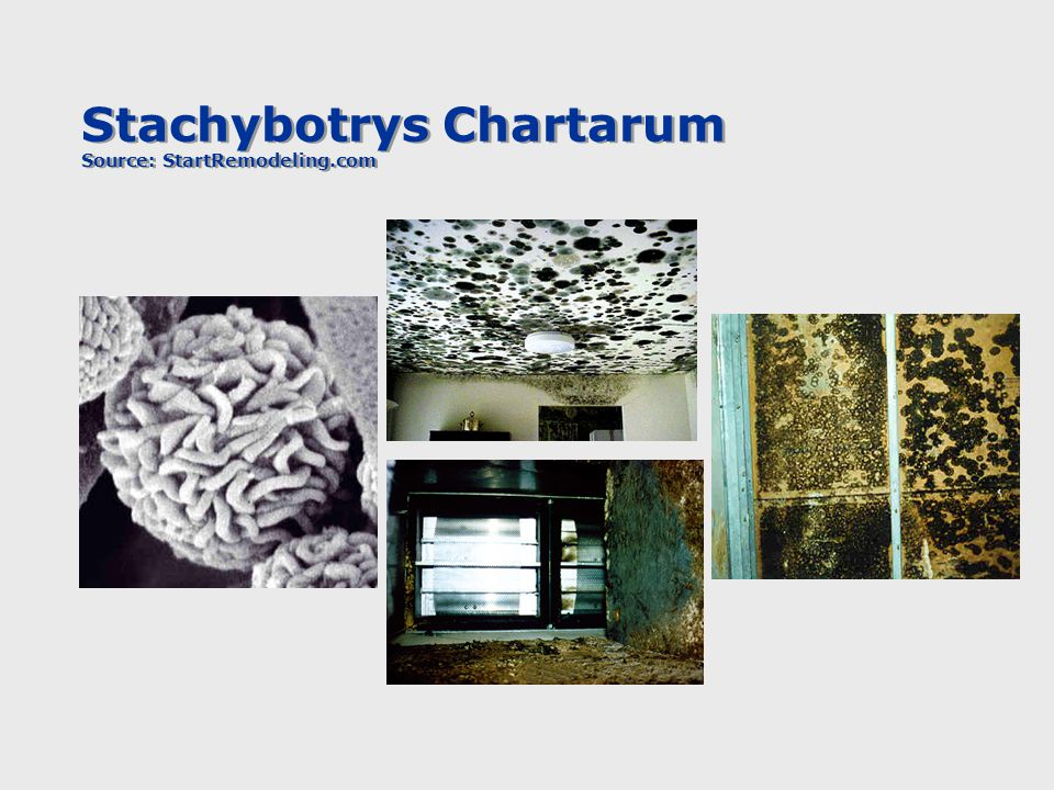 Stachybotrys Chartarum Source: StartRemodeling.com