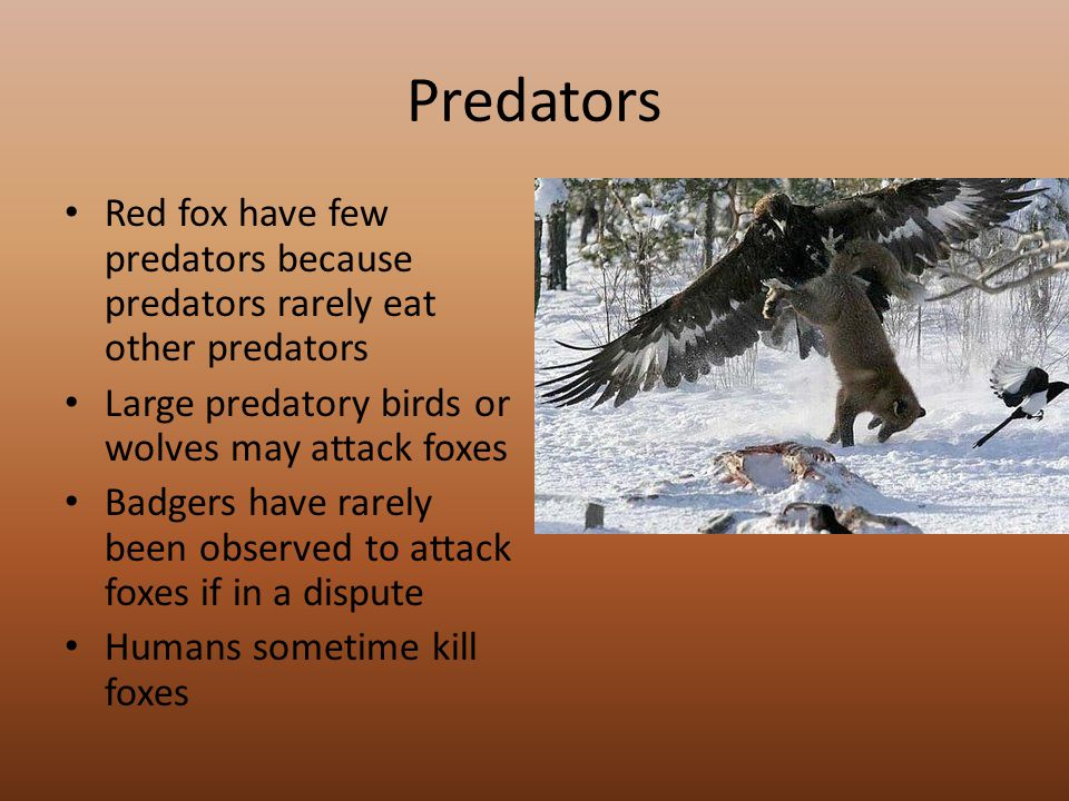 Predators Red fox have few predators because predators rarely eat other predators Large predatory birds or wolves may attack foxes Badgers have rarely been observed to attack foxes if in a dispute Humans sometime kill foxes