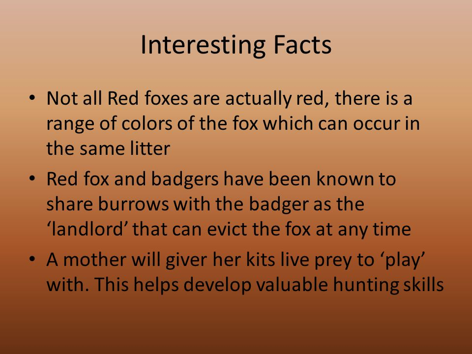 Interesting Facts Not all Red foxes are actually red, there is a range of colors of the fox which can occur in the same litter Red fox and badgers have been known to share burrows with the badger as the 'landlord' that can evict the fox at any time A mother will giver her kits live prey to 'play' with.