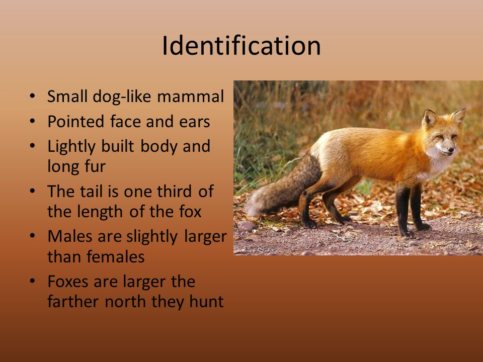 Identification Small dog-like mammal Pointed face and ears Lightly built body and long fur The tail is one third of the length of the fox Males are slightly larger than females Foxes are larger the farther north they hunt