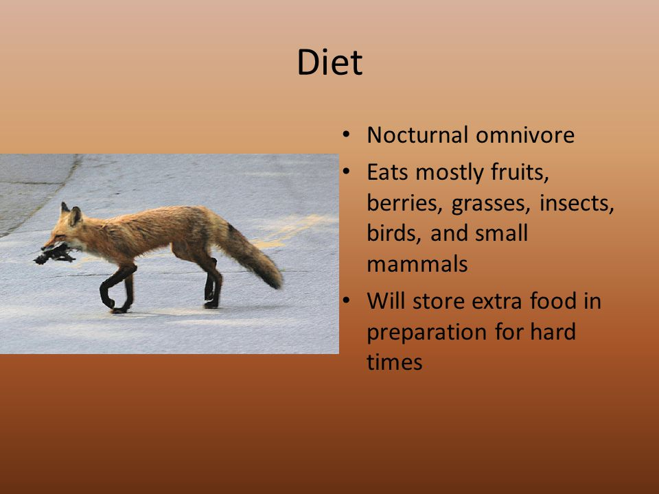 Diet Nocturnal omnivore Eats mostly fruits, berries, grasses, insects, birds, and small mammals Will store extra food in preparation for hard times
