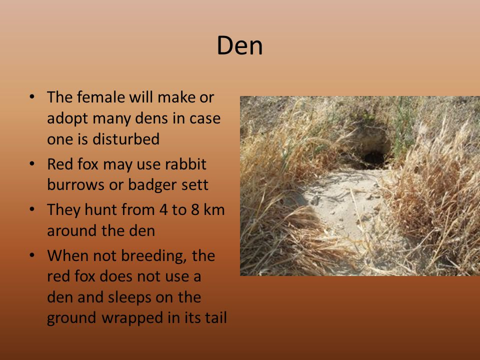 Den The female will make or adopt many dens in case one is disturbed Red fox may use rabbit burrows or badger sett They hunt from 4 to 8 km around the den When not breeding, the red fox does not use a den and sleeps on the ground wrapped in its tail