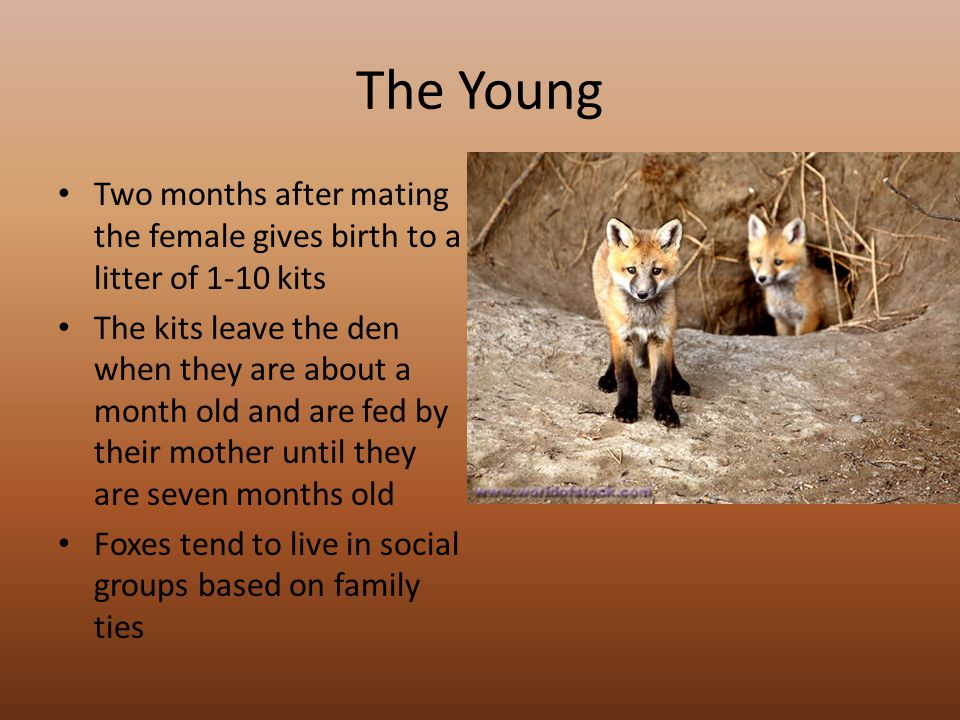 The Young Two months after mating the female gives birth to a litter of 1-10 kits The kits leave the den when they are about a month old and are fed by their mother until they are seven months old Foxes tend to live in social groups based on family ties