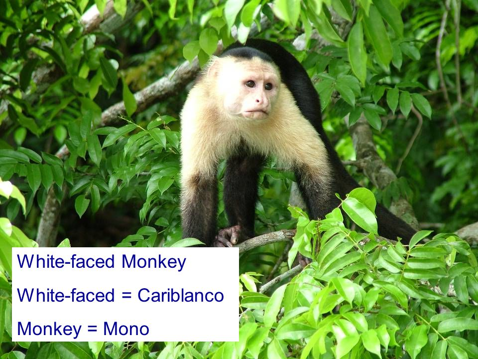 White-faced = Cariblanco Monkey = Mono