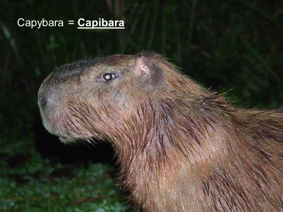 Capybara = Capibara