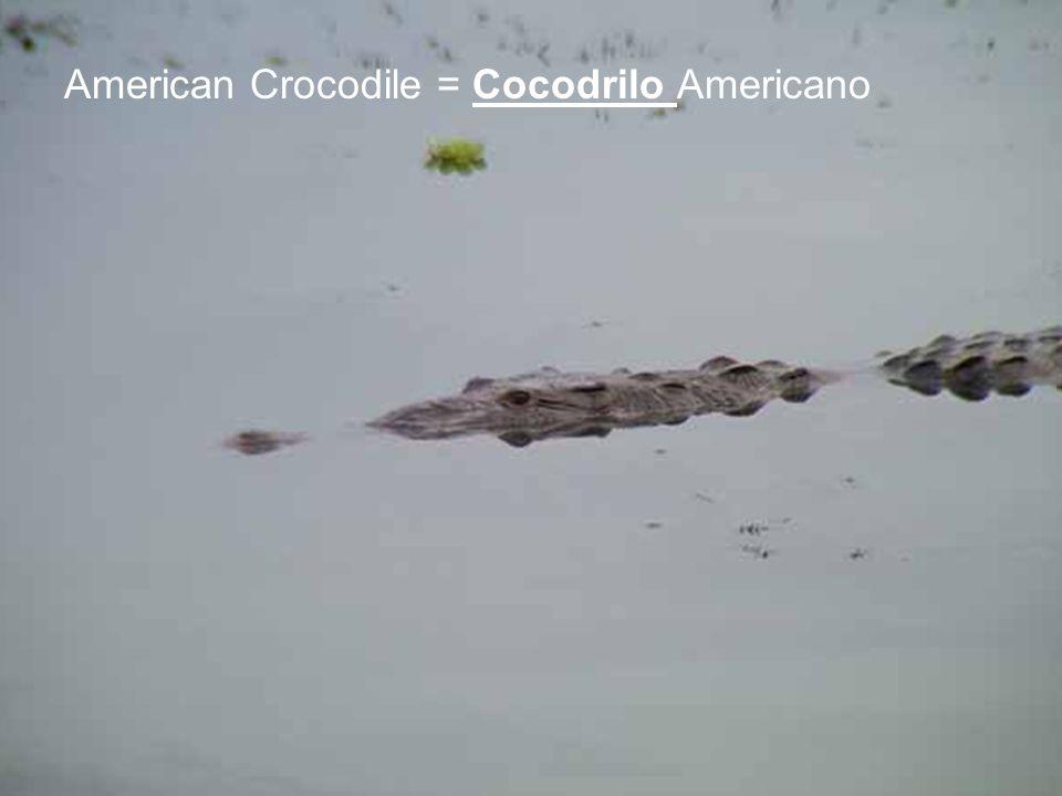American Crocodile = Cocodrilo Americano