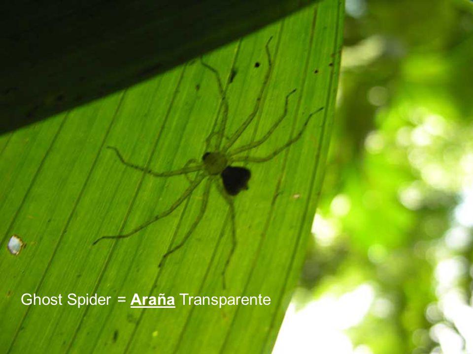 Ghost Spider = Araña Transparente