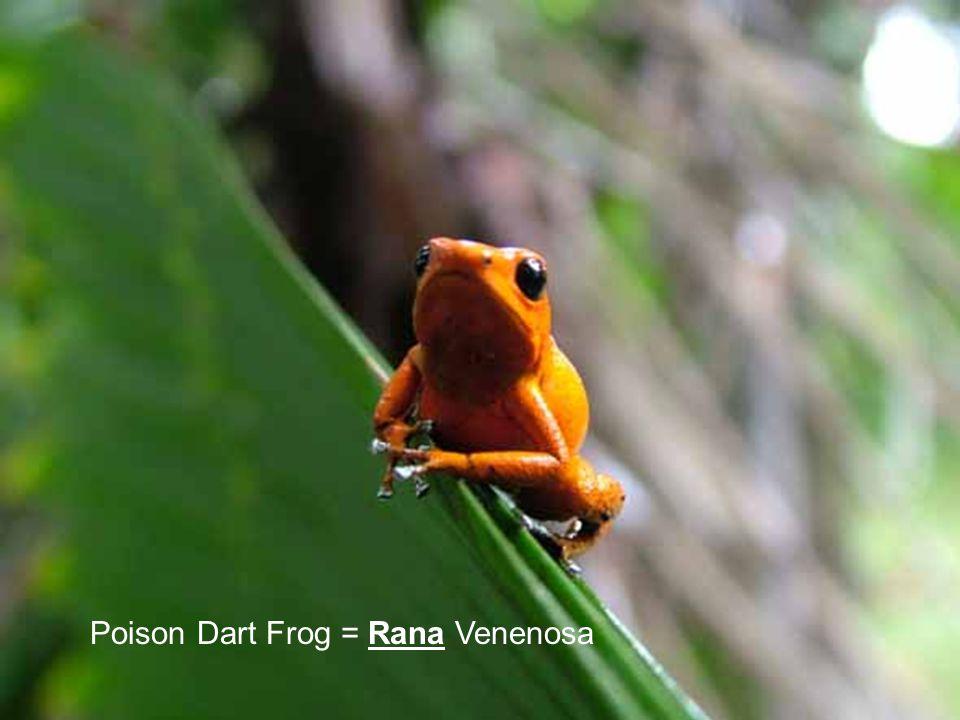 Poison Dart Frog = Rana Venenosa