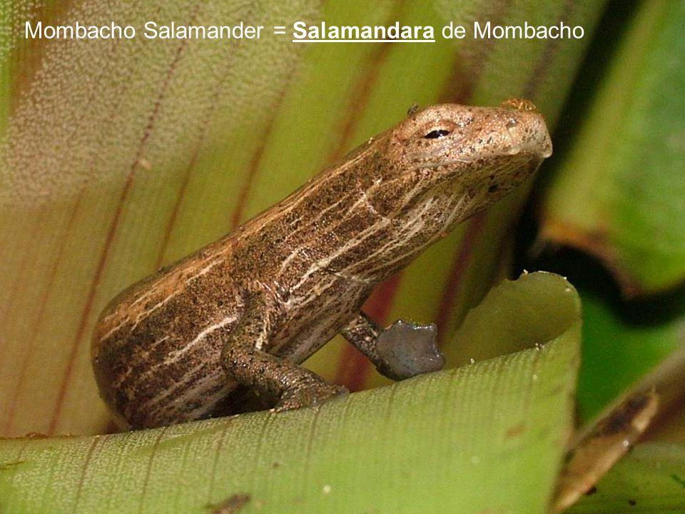Mombacho Salamander = Salamandara de Mombacho