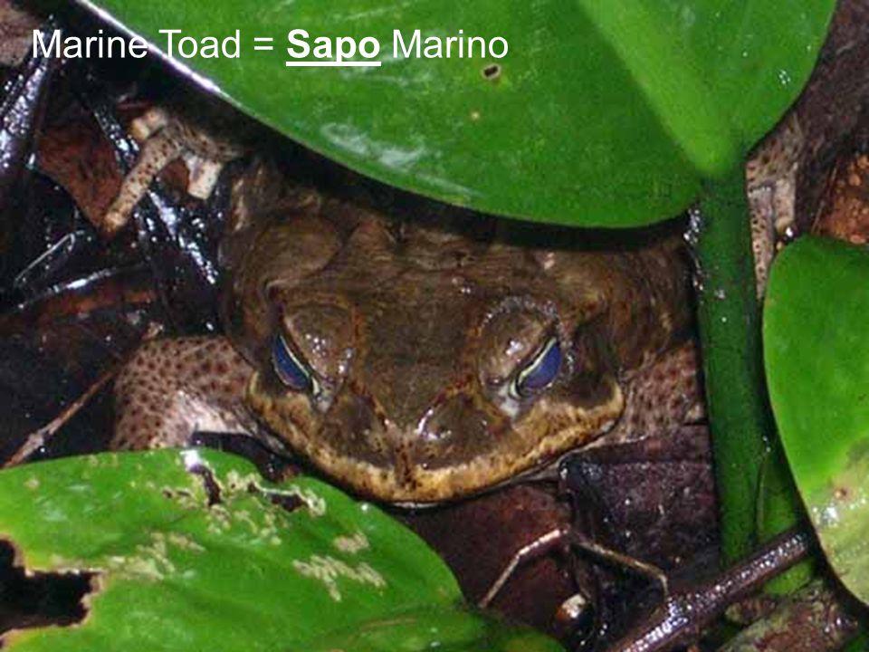 Marine Toad = Sapo Marino