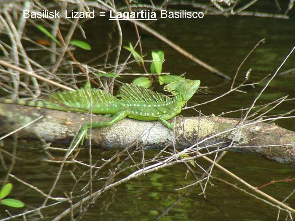 Basilisk Lizard = Lagartija Basilisco